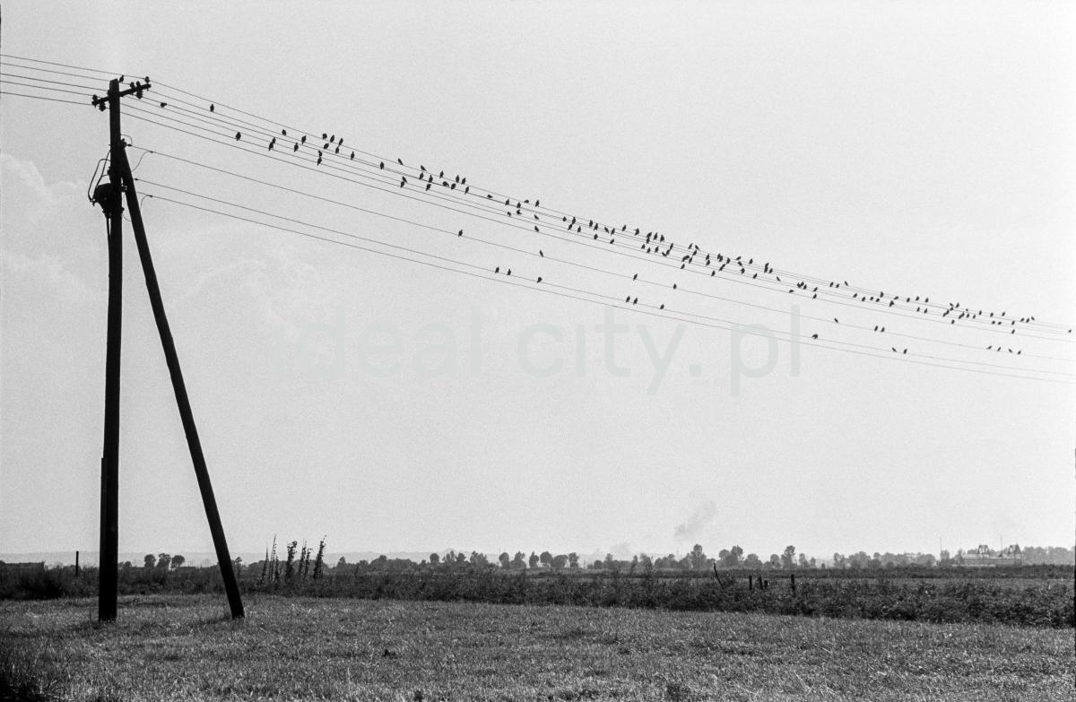 Ptaki na siedzące na drucie telegraficznym.