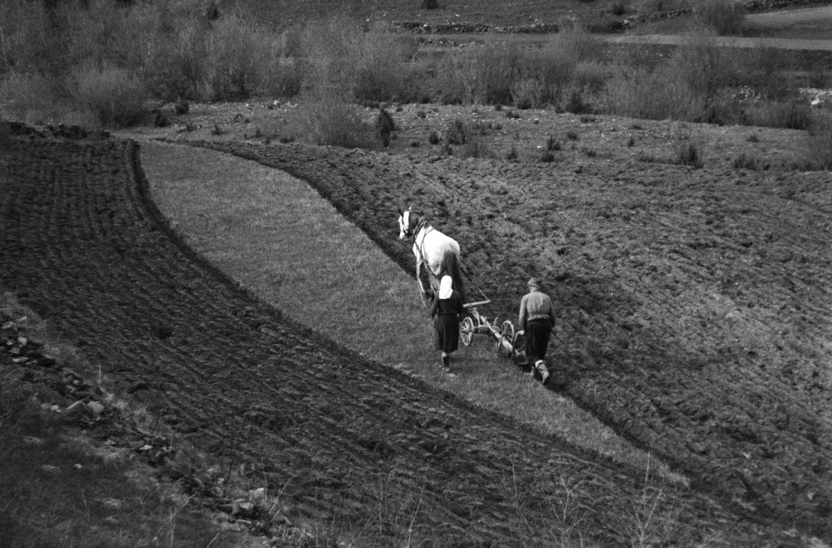 Rolnik orze niewielki skrawek pola za pomocą konnego pługa.