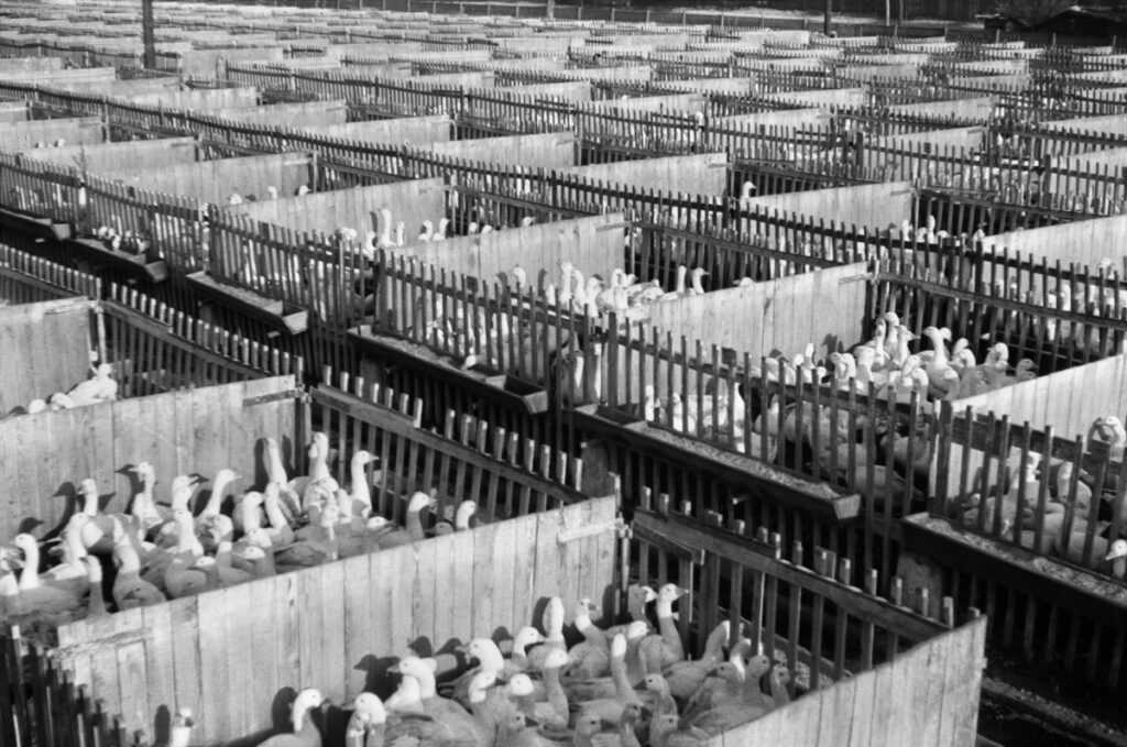 view of the hall filled with boxes with breeding geese