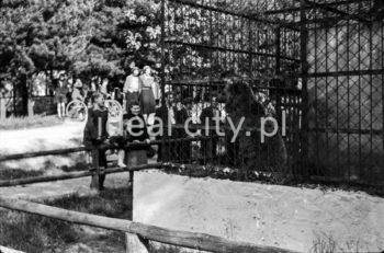 A bear in a zoo, Las Wolski, Kraków. 1950s.  Niedźwiedź w ZOO, Las Wolski, Kraków. Lata 50. XX w.  Photo by Wiktor Pental/idealcity.pl