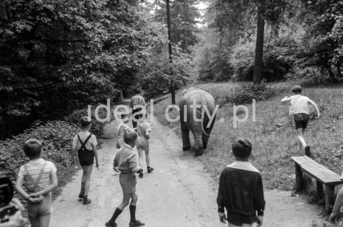 Spacer ze słoniem z krakowskiego ZOO, Las Wolski. Lata 60. XXw.  fot. Henryk Makarewicz/idealcity.pl
