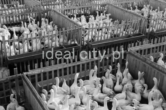 Kraków Poultry Processing Plant in Niepołomice. 1960s.  Krakowskie Zakłady Drobiarskie w Niepołomicach. Lata 60. XX w.  Photo by Henryk Makarewicz/idealcity.pl